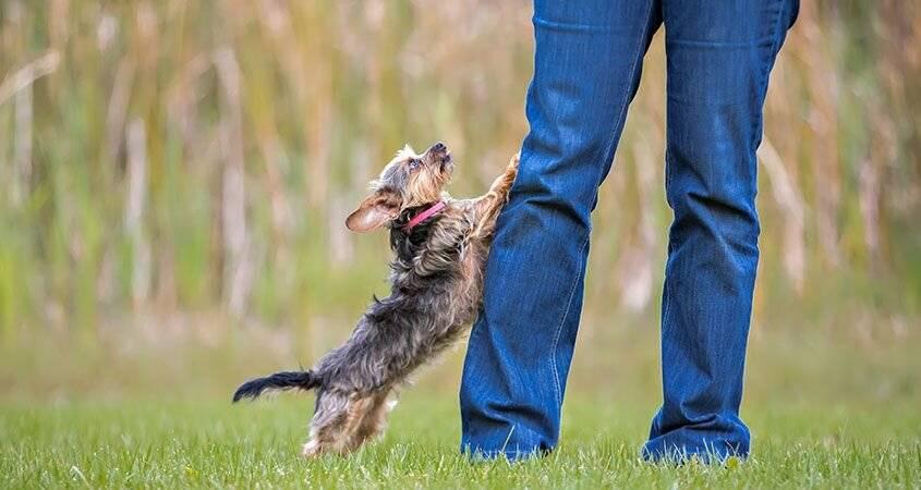 Как отучить собаку прыгать на хозяина: методы работы со щенками и взрослыми собаками, лабрадорами и овчарками