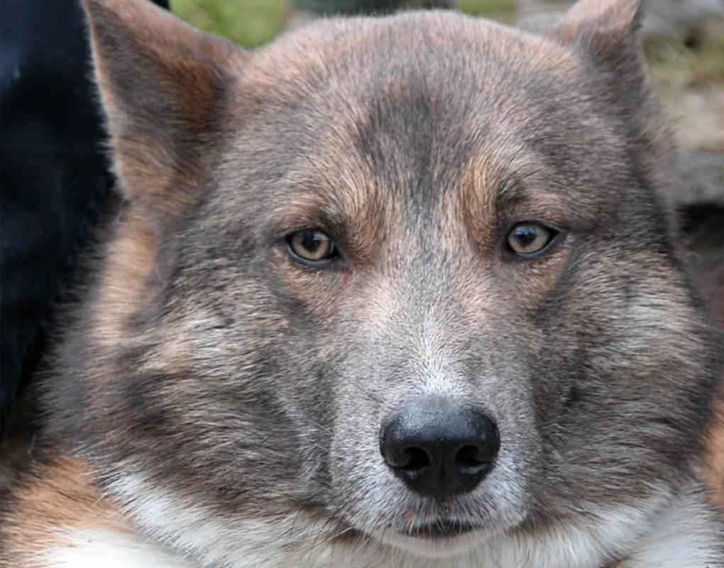 Собака сулимова. описание, особенности, уход и содержание породы