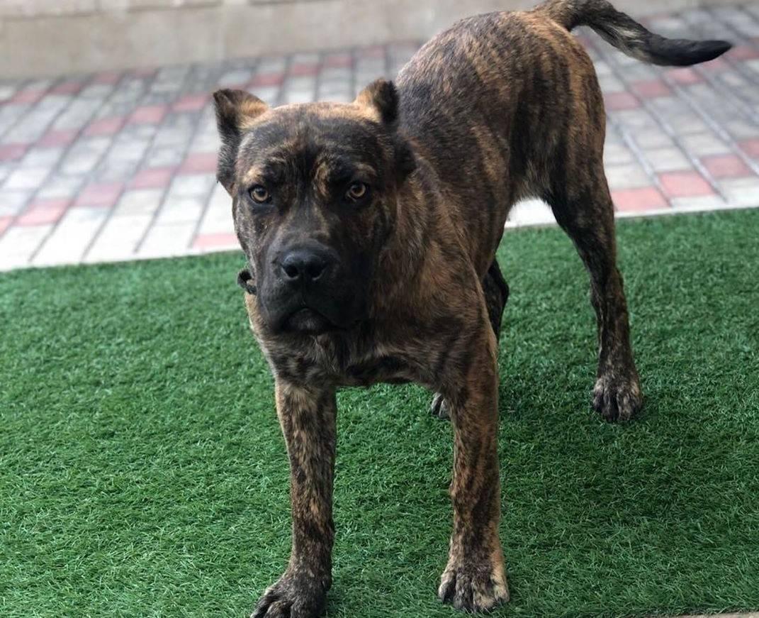 Аланская собака (32 фото): описание испанских бульдогов, характер боевой породы алано. как содержать щенков?