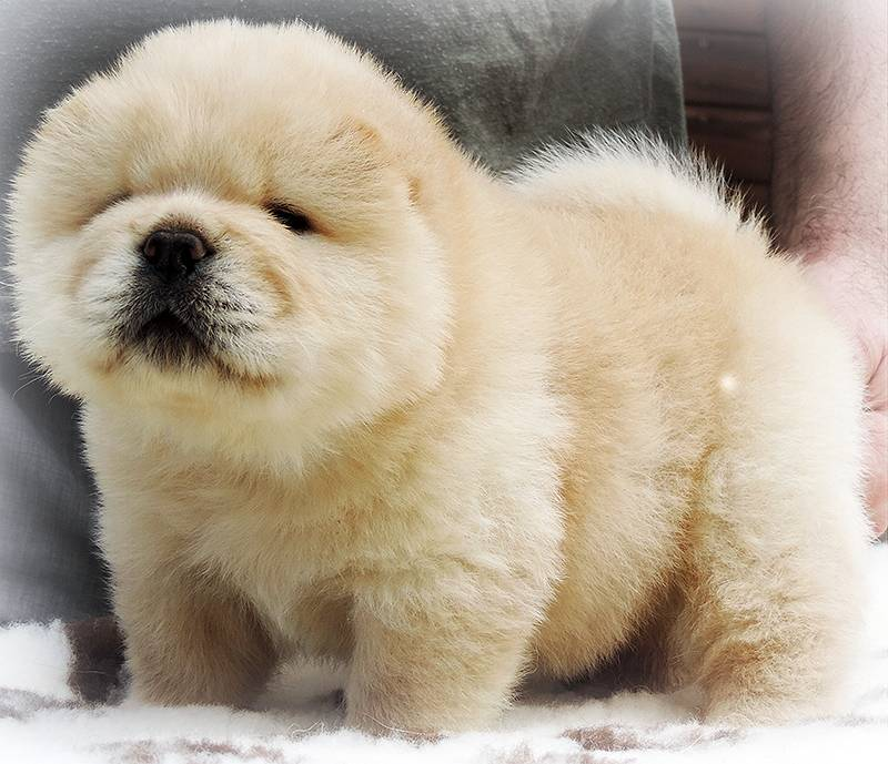 Померанский шпиц — собака, похожая на медвежонка