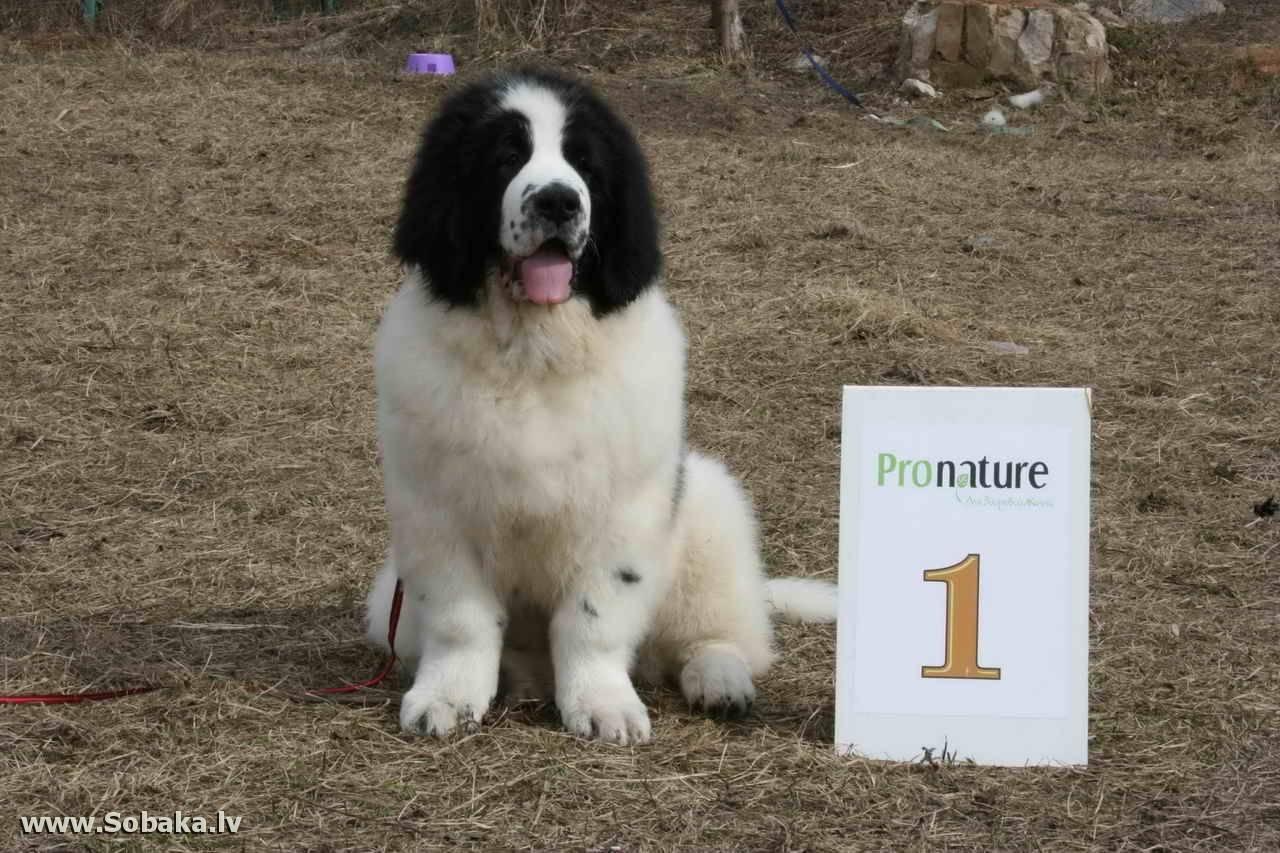 Ландсир: особенности и стандарт этой породы собак, как содержать и ухаживать, выбор щенков и цены, характер питомца, полезные фото и отзывы