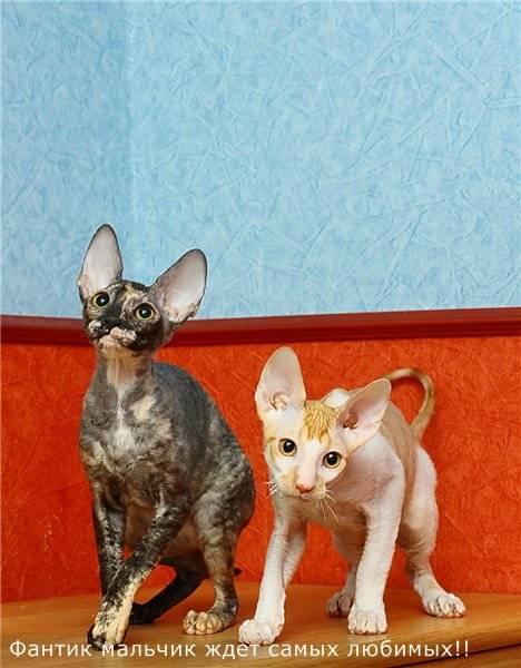 Характер, особенности и условия содержания породы кошек корниш-рекс