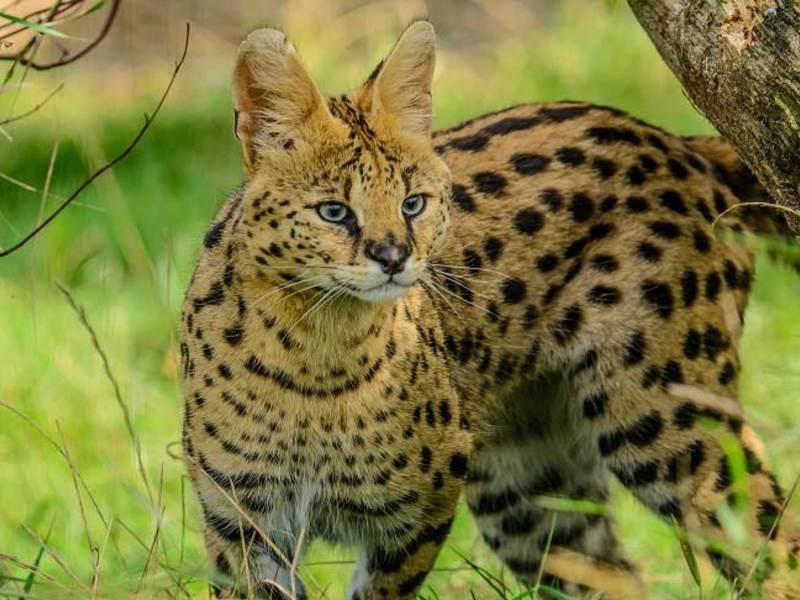 Кошка сервал (африканский, домашний, дикий): описание породы