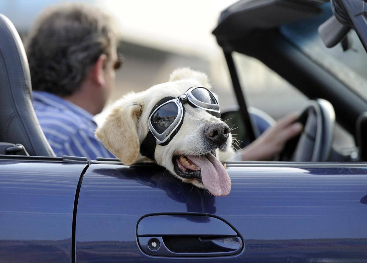 Собаку укачивает и тошнит в машине — что делать?