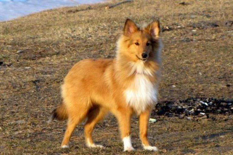 Собаки похожие на лису — 20 пород с примерами сходства
