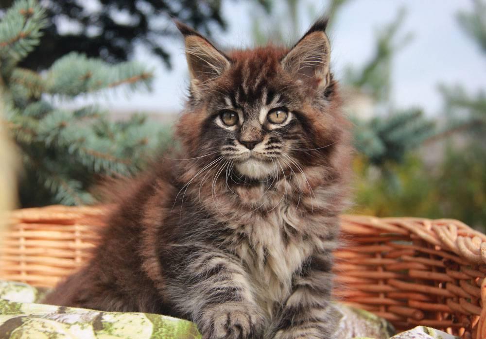 Коты мейн-кун: описание породы, фото, где купить