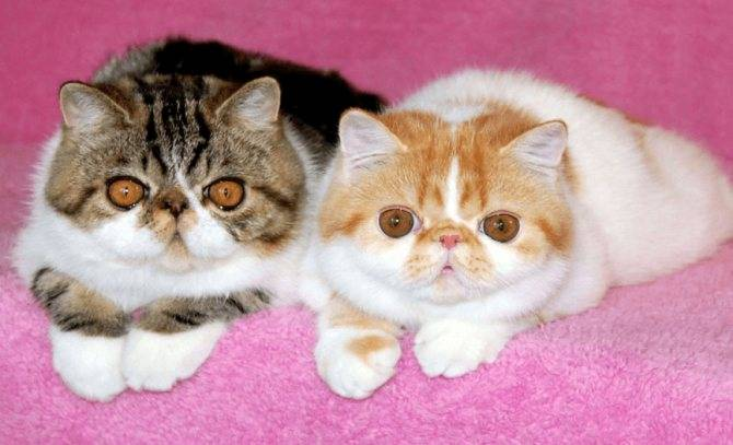 Происхождение экзотической породы кошек, уход и разведение