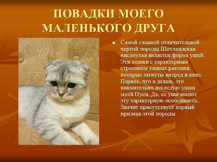 Шотландская вислоухая кошка (скоттиш фолд) – фото, описание, характер, цена