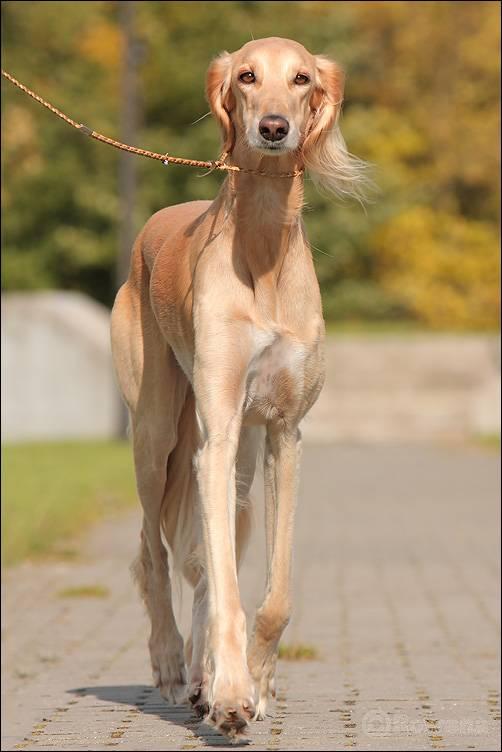 Собака салюки (персидская борзая), фото и видео породы собак персидская борзая (салюки)