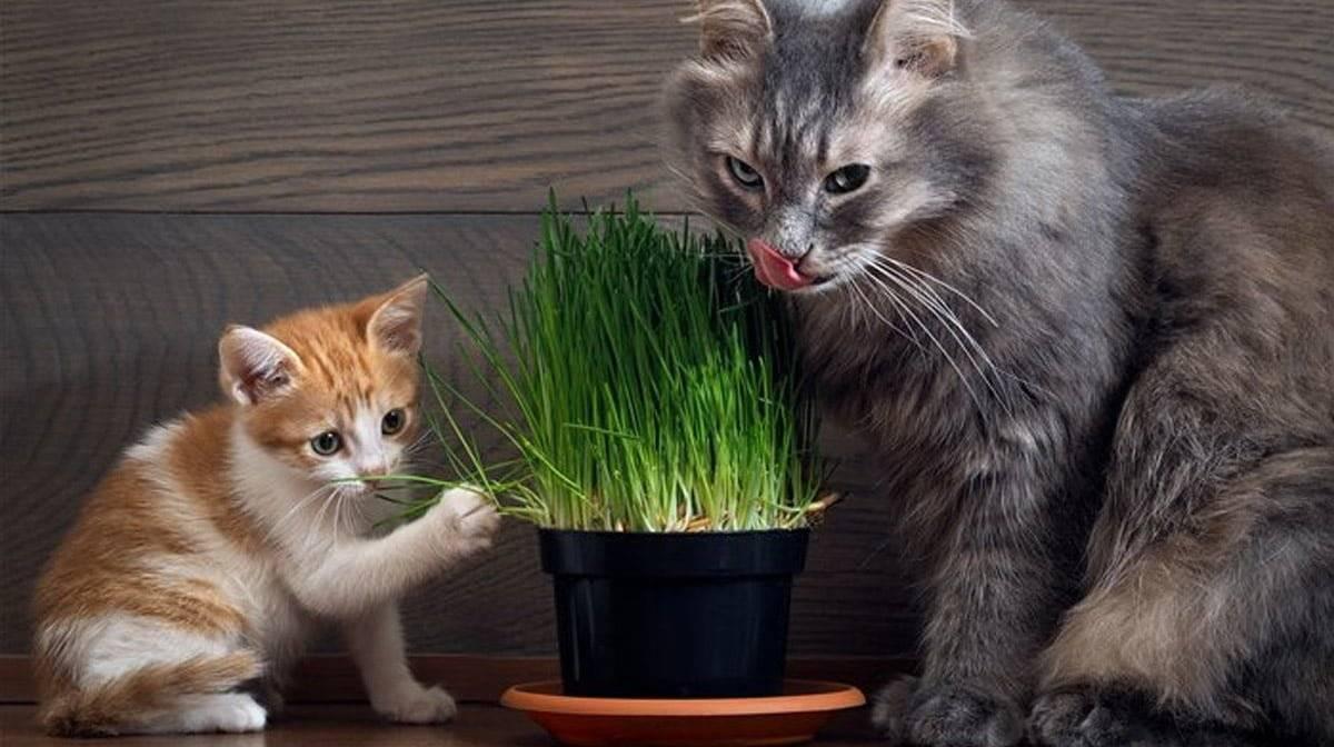 Трава для кошек выбор зелени для питомцев. список побегов
