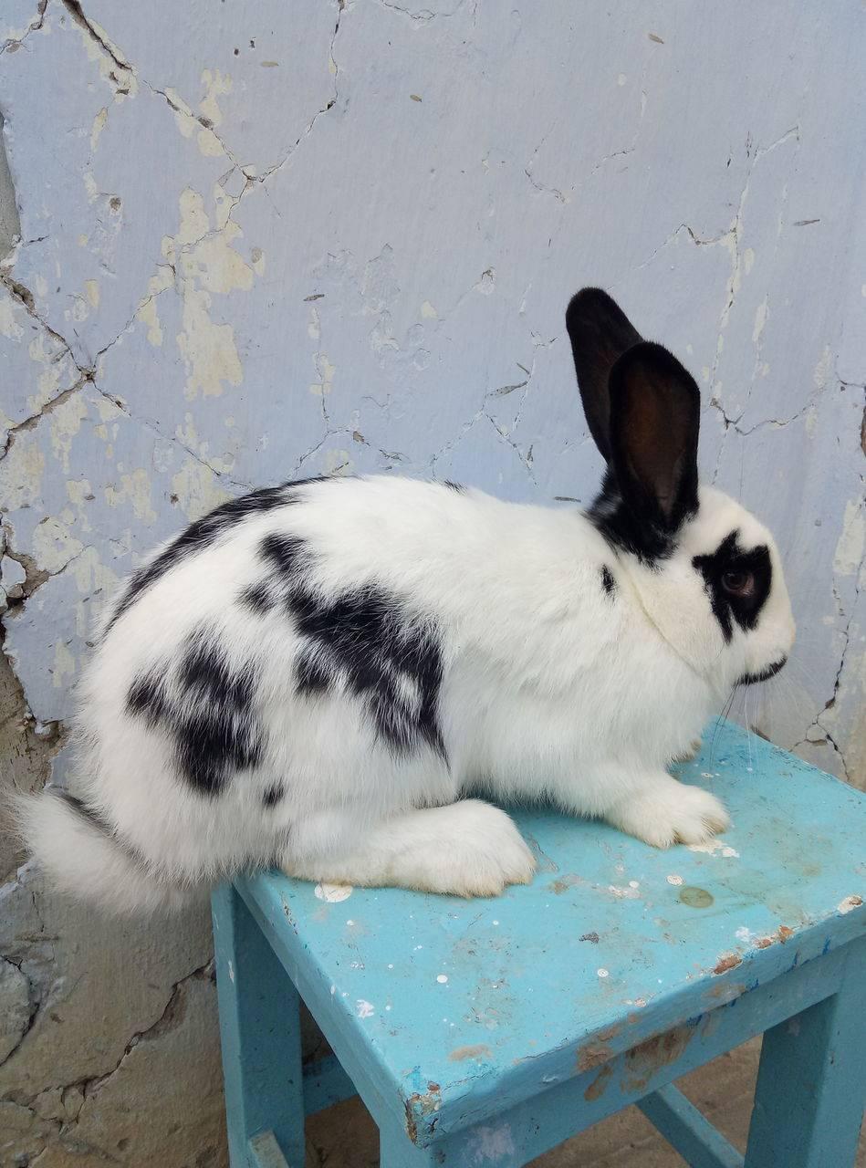 Кролик бабочка: описание породы, советы по разведению в домашних условиях