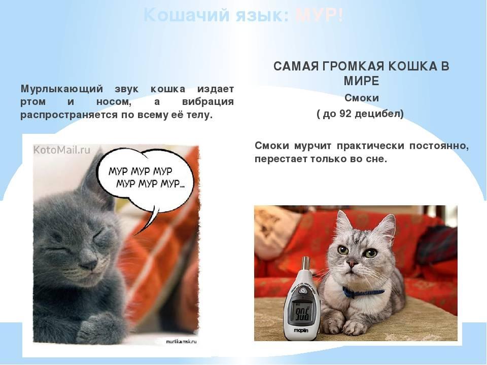 """""""мяу"""" - это только для людей: 7 типичных звуков, которые издает кот и их значение"""