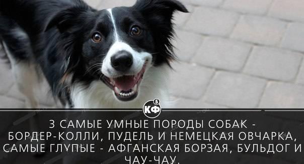 Самые умные породы собак: топ-10 с фото