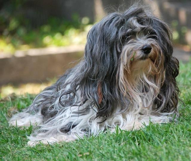 Гаванские бишоны: описание породы собак, фото, отзывы владельцев :: syl.ru