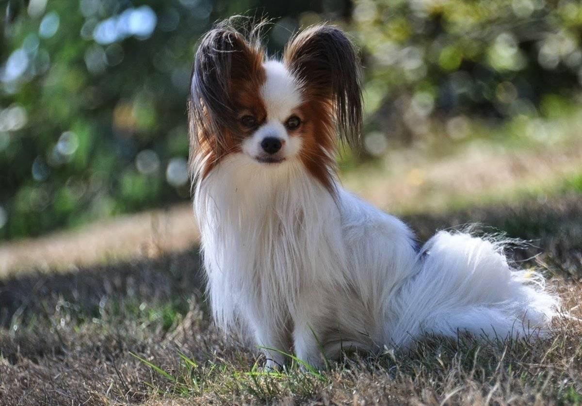 Белая собака, маленькая порода с названиями и фото