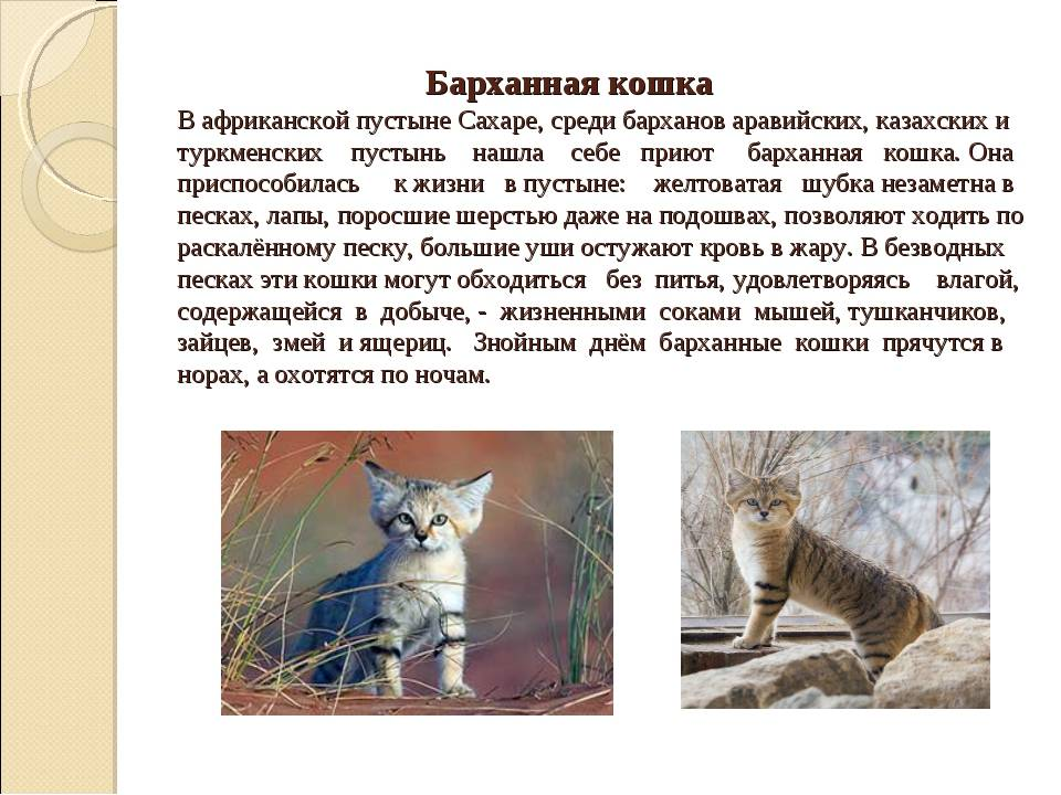 Барханный (пустынный) кот: описание, характер, среда обитания и образ жизни, фото