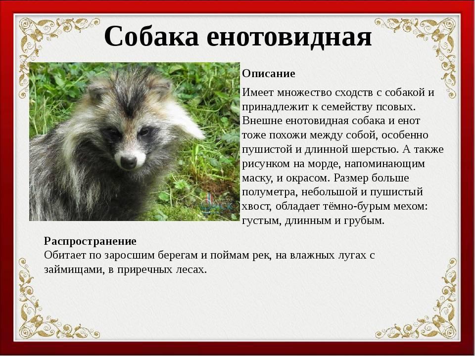 Енотовидная собака: особенности содержания, фото и видео, цена