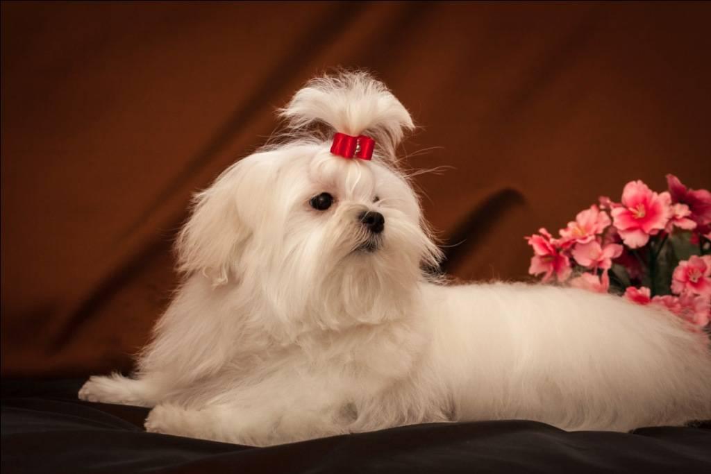 Мальтезе (мальтийская болонка): внешность и характер, фото собаки