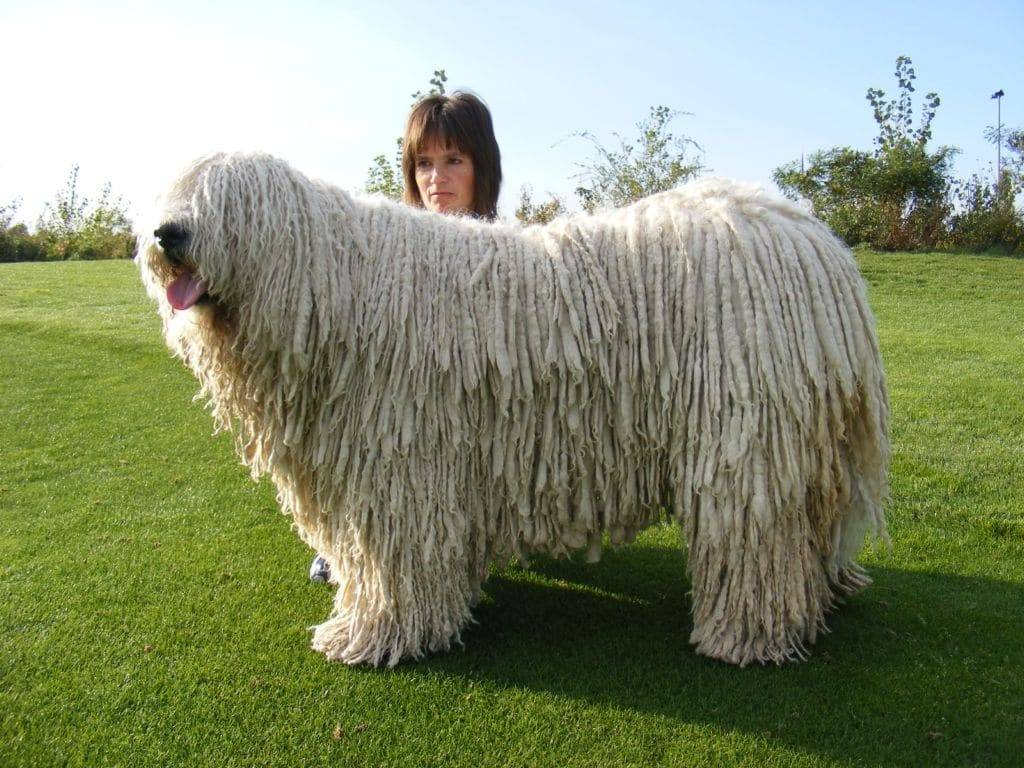 Командор — отличная сторожевая собака с экстравагантной внешностью