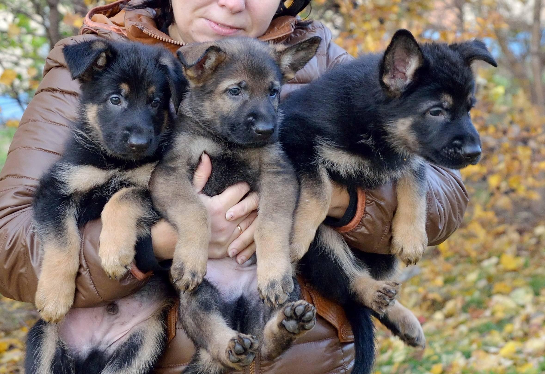 Как правильно воспитывать немецкую овчарку с щенячьего возраста