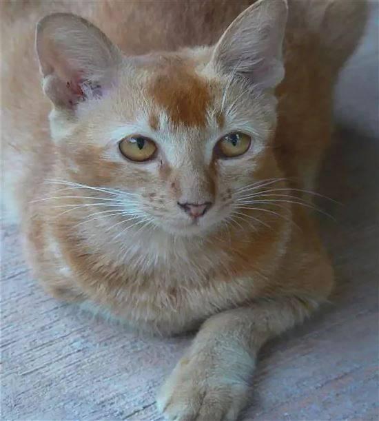 Цейлонская кошка: описание цейлонская кошка, цейлонская кошка фото, цейлонская кошка видео, уход цейлонская кошка, характер цейлонская кошка, происхождение цейлонская кошка, стандарт цейлонская кошка