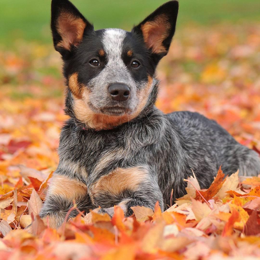 Порода австралийская пастушья собака: характеристики, фото, характер, правила ухода и содержания