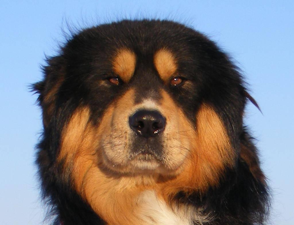 Бурят-монгольский волкодав (хотошо): фото, описание породы