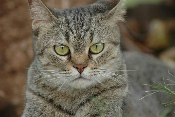 Азиатская табби — описание пород котов