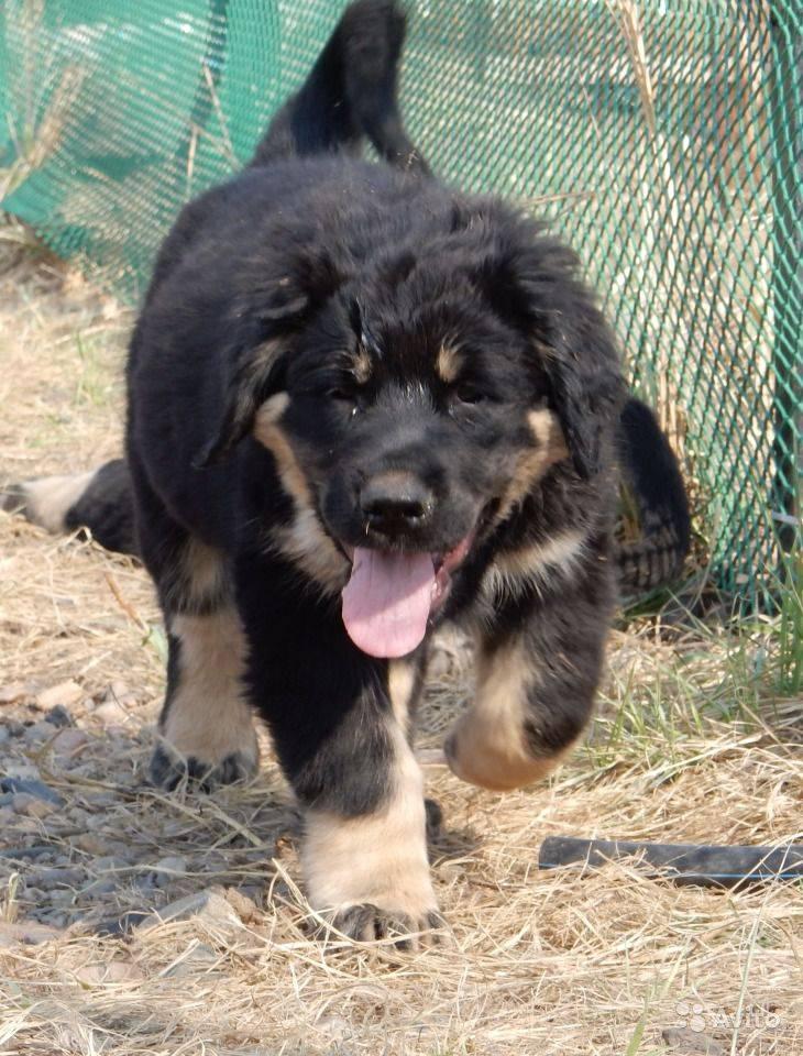 Порода собак бурят-монгольский волкодав и ее характеристики с фото