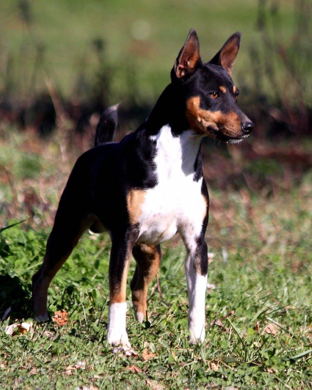 Описание породы собак американский или лысый терьер