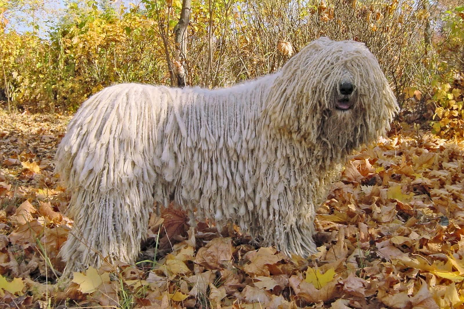 Венгерская овчарка (36 фото): описание породы собак комондор, выращивание лохматых щенков