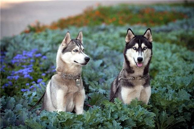 Сибирский хаски: описание породы, характер иуход