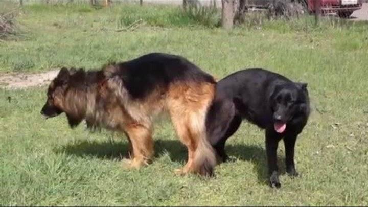Вязка собак от а до я: все, что нужно знать владельцу
