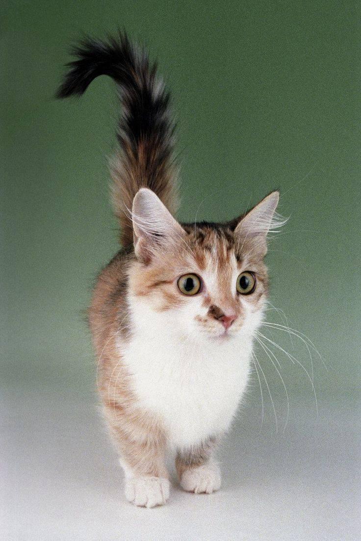 Кот манчкин: очарование на коротких лапках