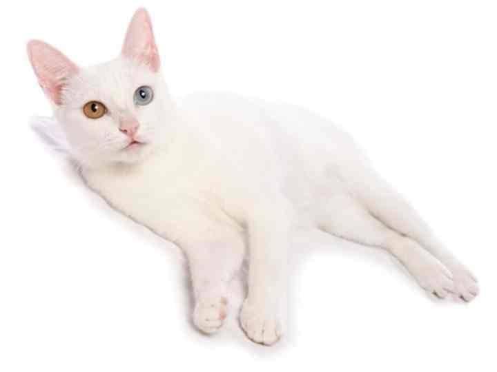 Као мани – подробное описание породы и фото кошек