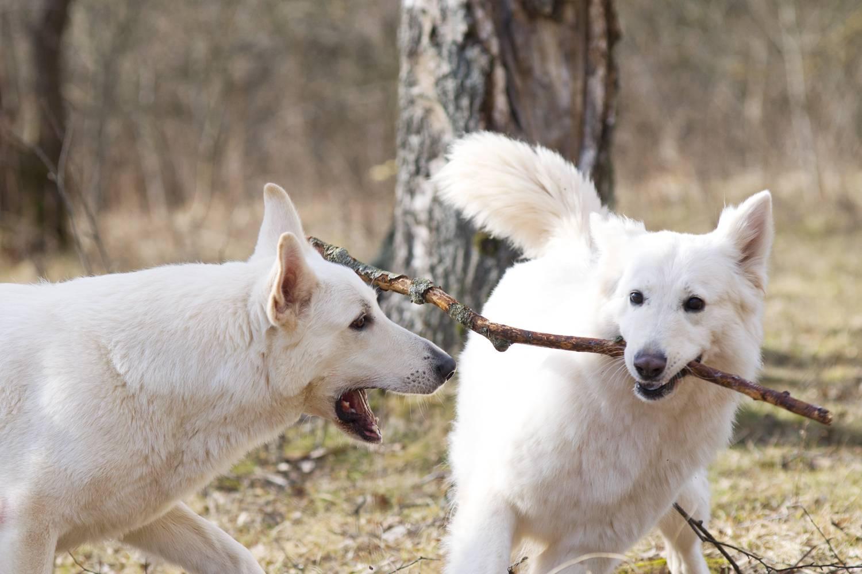 Белая швейцарская овчарка: фото, описание, характер, содержание, отзывы