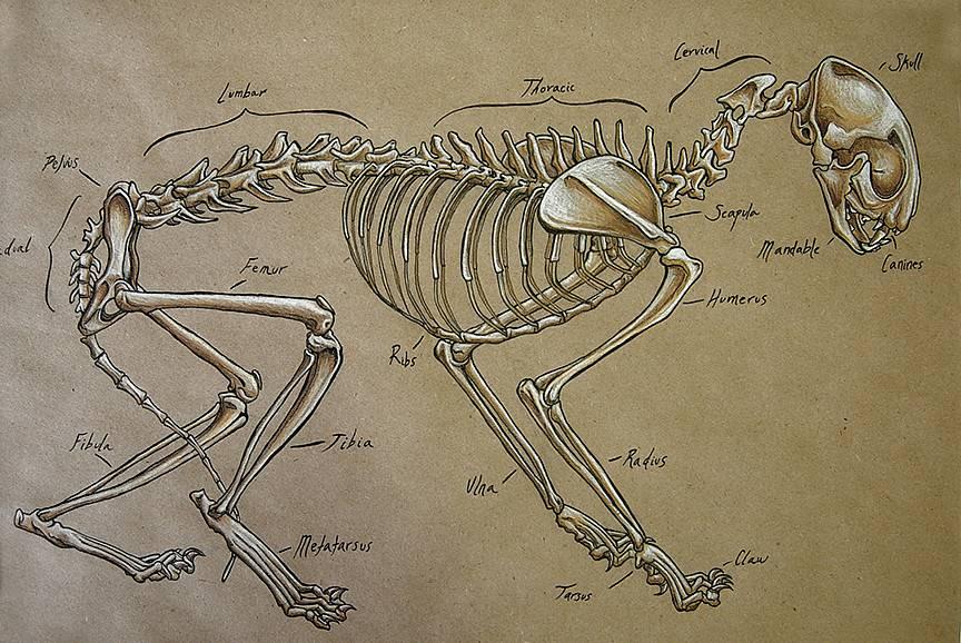 Краткий экскурс в мир кошачьей анатомии |