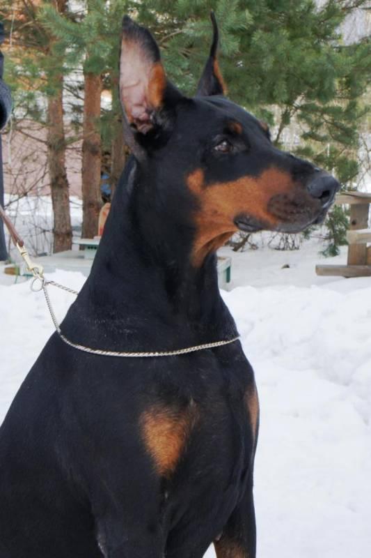 Содержание и уход за доберманом. есть ли необходимость в купировании ушей и хвоста собаки?