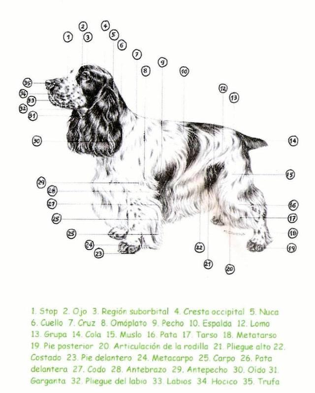 Английский кокер спаниель — описание породы, уход и содержание
