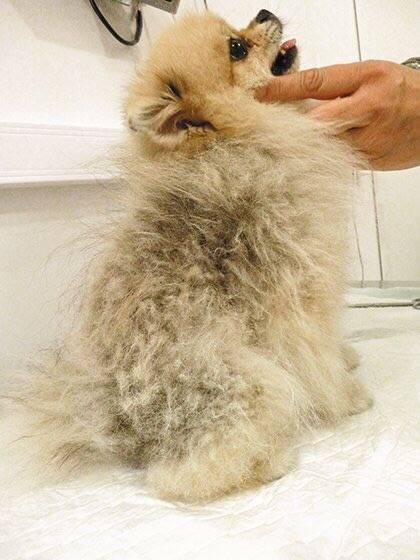 Аллергический блошиный дерматит у собак