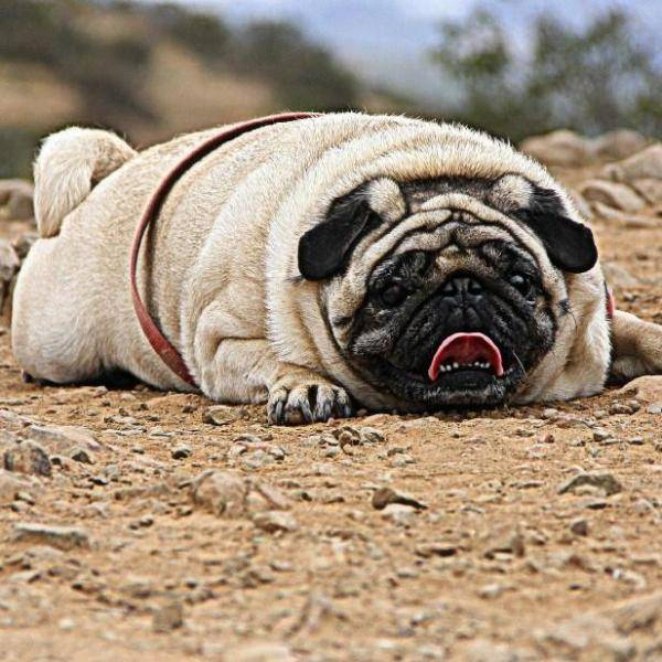 Ожирение у собак - причины, последствия, правила диеты