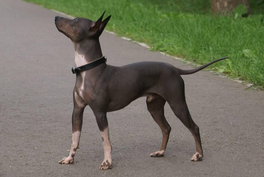 Американский голый терьер: описание породы - моя собака