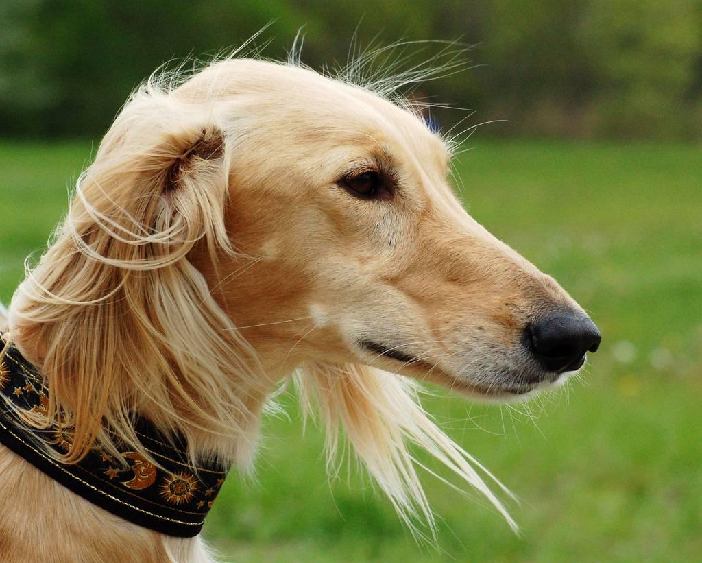 Салюки: фото, описание и характеристика породы, уход   все о собаках