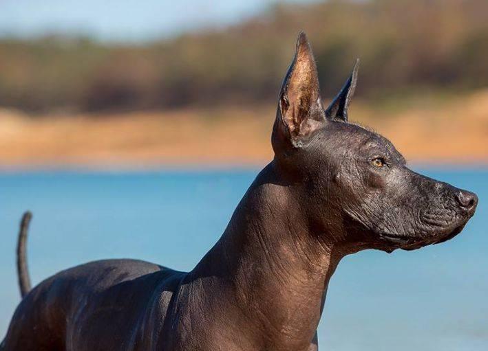 Ксолоитцкуинтли – мексиканская лысая собачка