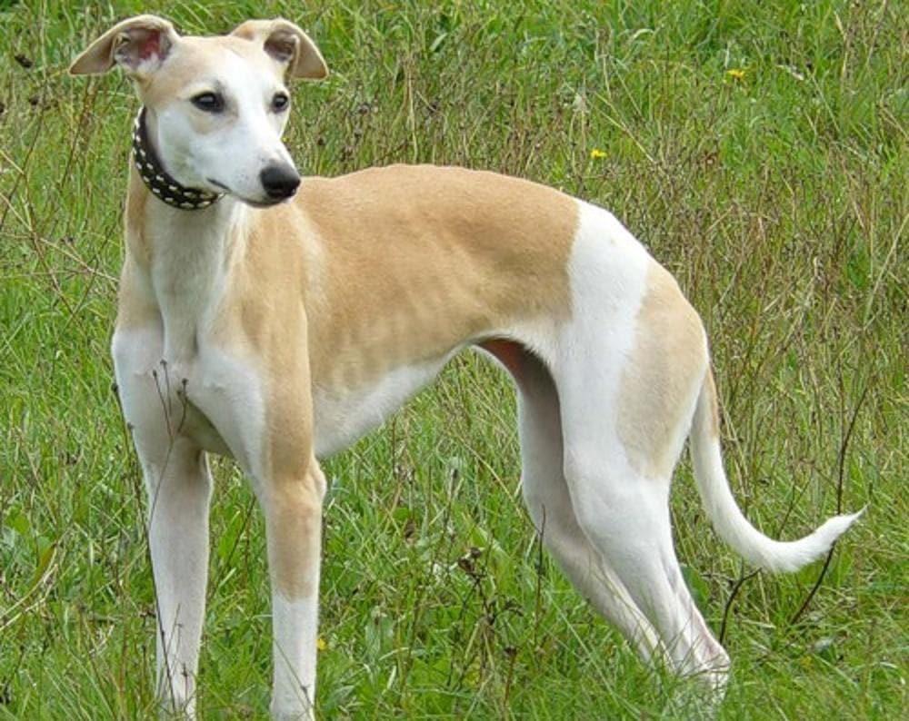 Уиппет: фото и описание породы борзых собак, окрас английского уиппета, характер и история породы