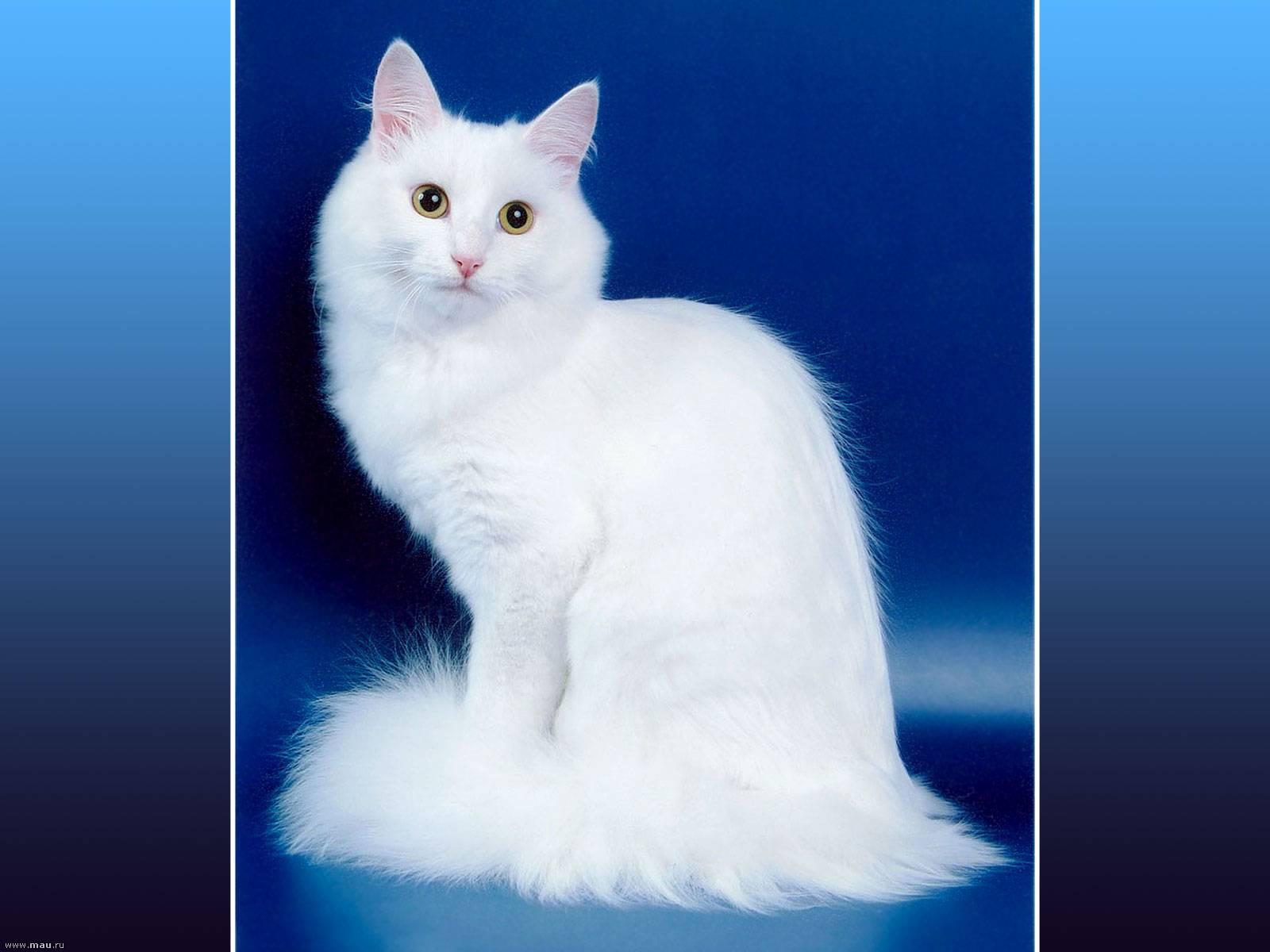 Описание внешности и характера породы кошек турецкая ангора