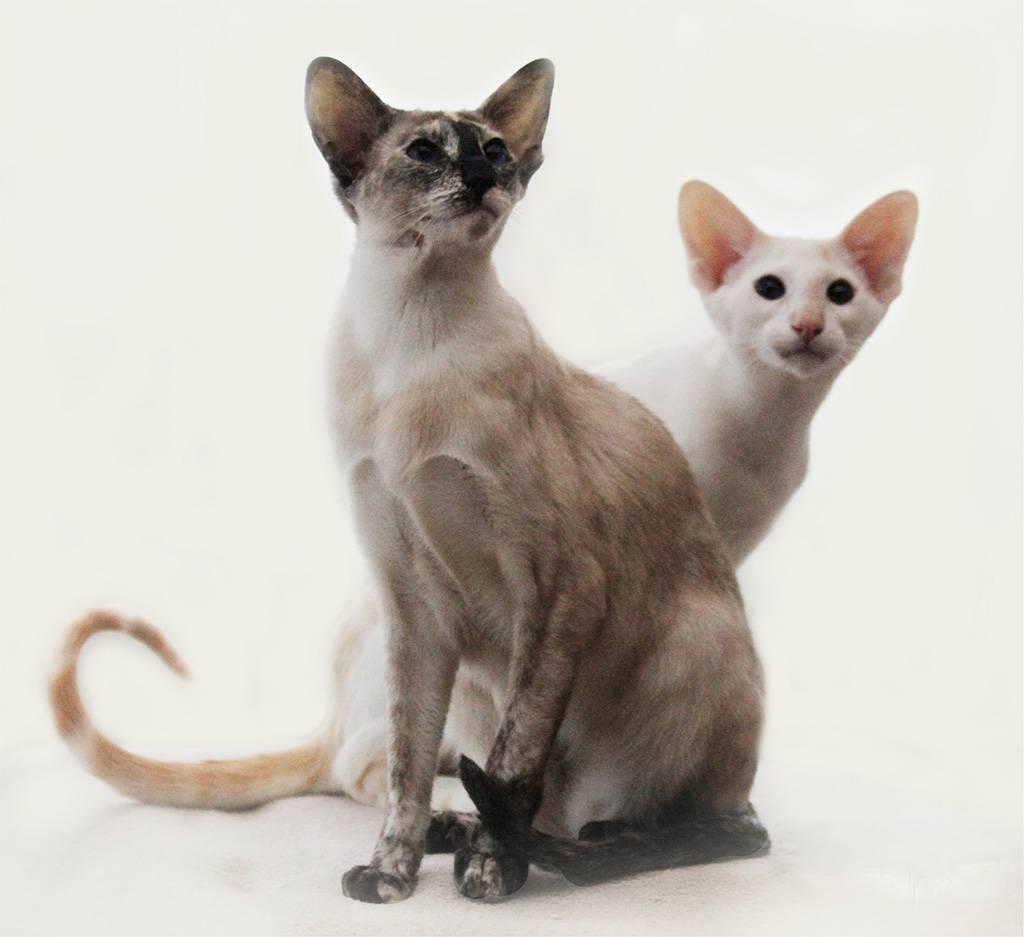 Японский бобтейл: все о кошке, фото, описание породы, характер, цена