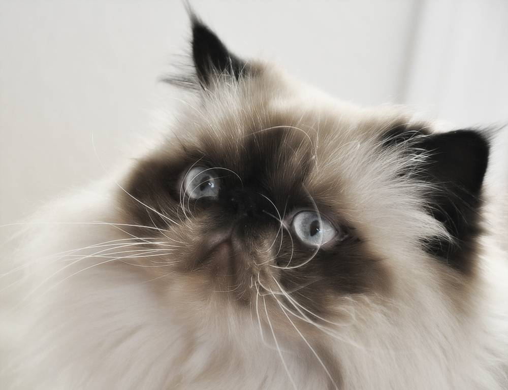 Гималайская кошка: особенности породы и фото кота, уход за питомцем и его содержание