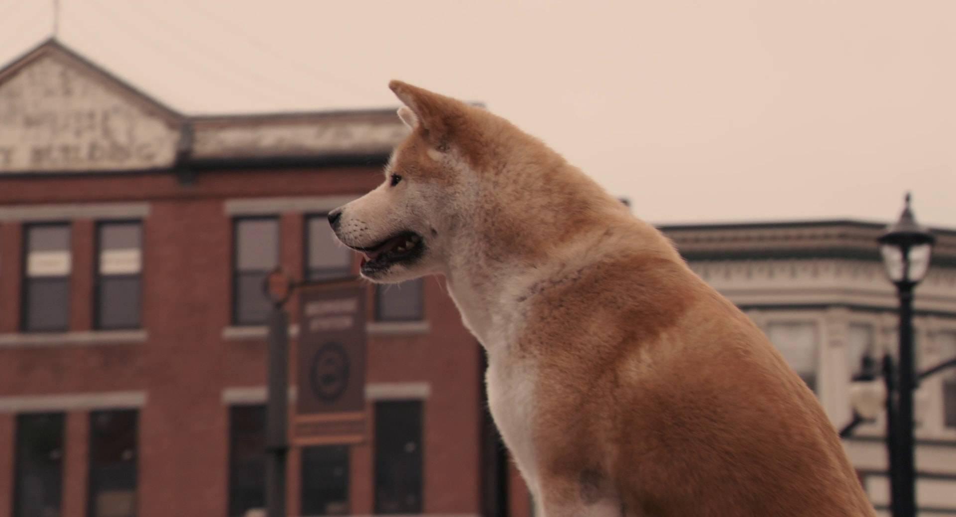 Хатико: порода собаки из фильма