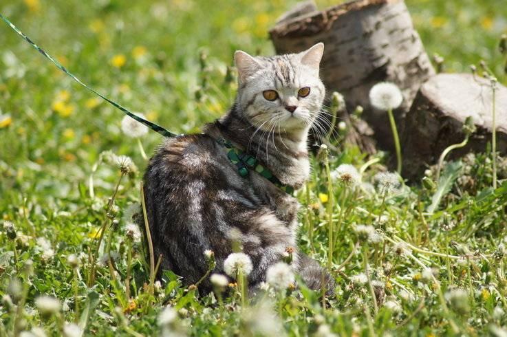 Нужно ли и как выгуливать кота, как приучить кошку ходить на поводке